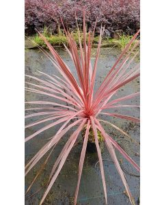 Cordyline australis 'Charly boy' / Cordyline australe 'Charly boy'