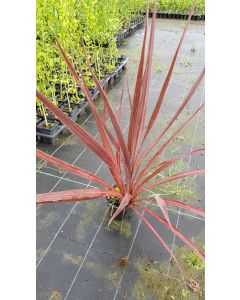Cordyline australis ' Purple Sensation' / Cordyline australe pourpre marginée de rose