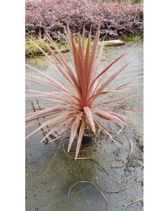 Cordyline australis ' Red Star' / Cordyline australe pourpre