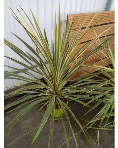 Cordyline australis 'Torbay Dazzler' / Cordyline australe 'Torbay Dazzler'
