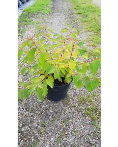 Cornus sanguinea 'Anny's Winter Orange' / Cornouiller sanguin à bois orange fluo