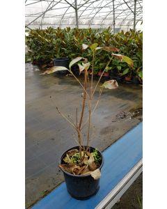 Cornus kousa 'Blue Shadow' / Cornouiller à grandes fleurs blanches et à fruits