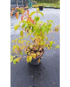 Cornus sanguinea 'Midwinter Fire' / Cornouiller sanguin à bois orange