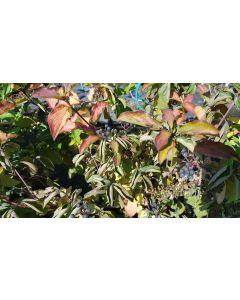 Cornus sanguinea / Cornouiller sanguin