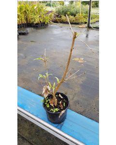 Cornus kousa 'Teresa' / Cornouiller à grandes fleurs blanches et à fruits