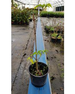 Cornus kousa 'Trinity Star' / Cornouiller à grandes fleurs blanches et à fruits