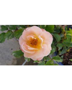 DECOROSIER CALIZIA® 'Noa97400a' / Rosier paysager orange saumoné CALIZIA®