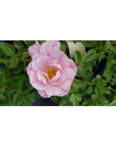 DECOROSIER MAREVA® 'Noamel' / Rosier paysager rose pâle MAREVA®