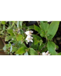 Deutzia gracilis 'Nikko' / Deutzie compacte à fleurs blanches