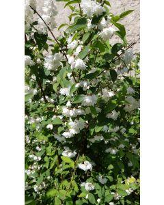Deutzia gracilis / Deutzie compacte à fleurs blanches