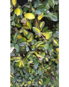 Elaeagnus pungens 'Maculata aurea' / Chalef panaché