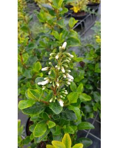 Escallonia 'Iveyi' / Escallonia à grandes fleurs blanches parfumées