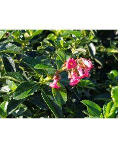 Escallonia rubra Var. Macrantha / Escallonia à grandes fleurs rose vif