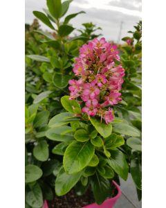 Escallonia Pink Elle ® 'lades' / Escallonia à très grandes fleurs rose intense striées de blanc