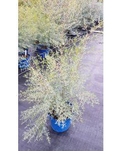 Eucalyptus gunnii France Bleu® 'Rengun' / Gommier cidre France Bleu®
