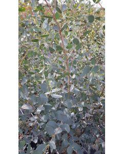 Eucalyptus gunnii / Gommier cidre
