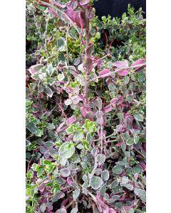 Euonymus fortunei 'Emerald Gaiety' / Fusain de Fortune 'Emerald Gaiety'