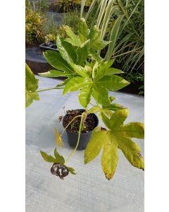 Fatsia japonica 'Variegata' / Aralie du Japon panaché