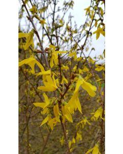 Forsythia x intermedia 'Lynwood gold' / Mimosa de Paris
