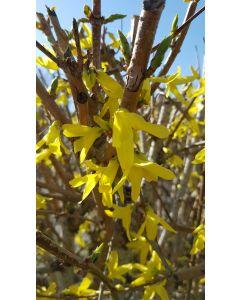 Forsythia x intermedia Mélée D'Or ® 'Courtaneur' / Mimosa de Paris couvre-sol