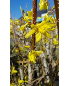 Forsythia x intermedia Week-end® 'Courtalyn' / Mimosa de Paris