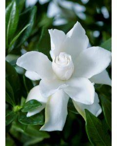 Gardenia x Celestial Star® 'PS-2013-4' / Gardenia rustique à fleurs doubles