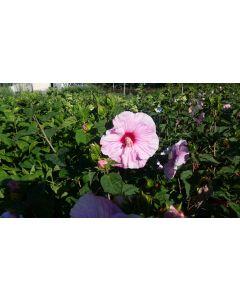 Hibiscus moscheutos Planet® Solène 'Tansol' / Hibiscus des marais rose