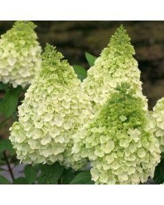 Hydrangea paniculata Magical® Kilimanjaro / Hortensia paniculé Kilimanjaro
