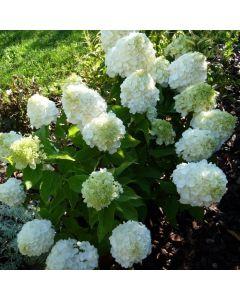 Hydrangea paniculata Magical® Mont Blanc 'Kolmamon' / Hortensia paniculé compact Mont Blanc