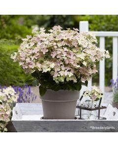 Hydrangea paniculata Polestar® 'Polstar' / Hortensia paniculé Polestar® 'Polstar'