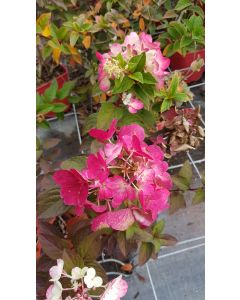 Hydrangea paniculata Diamand Rouge® 'Rendia' / Hortensia paniculé Diamand Rouge® 'Rendia'
