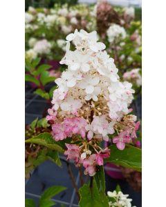 Hydrangea paniculata Vanille Fraise® 'Renhy' / Hortensia paniculé Vanille Fraise® 'Renhy'