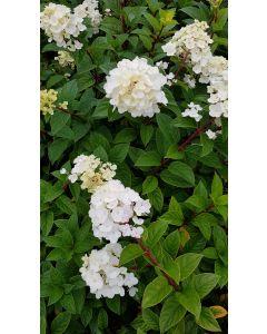 Hydrangea paniculata Sundae Fraise® 'Rensun' / Hortensia paniculé Sundae Fraise® 'Rensun'