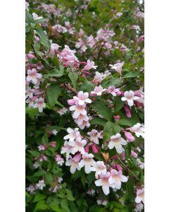 Kolwitzia amabilis 'Pink Cloud' / Buisson de Beauté rose