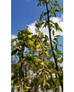 Laburnum anagyroïdes 'Yellow Rocket'® / Cytise 'Yellow Rocket'®