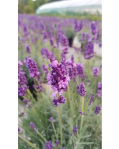 Lavandula angustifolia 'Anna'® / Lavande Vraie 'Anna'®