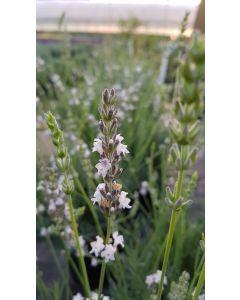 Lavandula x intermedia 'Edelweiss' / Lavandin à fleurs blanches