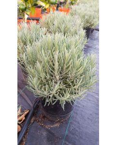 Lavandula angustifolia 'Munstead' / Lavande Vraie 'Munstead'