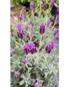 Lavandula stoechas 'Devonshire Compact' / Lavande Papillon 'Devonshire Compact'
