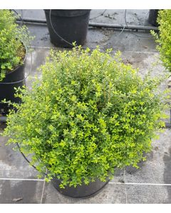 Lonicera nitida 'Panmin' / Chèvrefeuille boule à feuilles de Buis