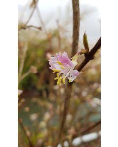 Lonicera x purpusii 'Winter Beauty' / Chèvrefeuille d'hiver parfumé