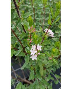 Lonicera syringantha / Chèvrefeuille à fleurs de lilas