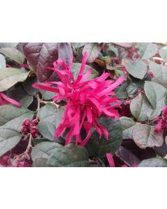 Loropetalum chinensis 'Rouge de La Majorie'®