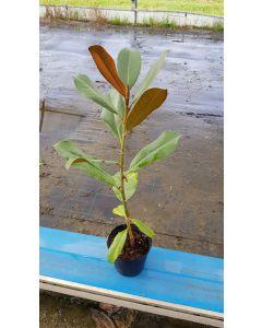 Magnolia grandiflora 'Flore Pleno' / Magnolia à grande fleur blanche double 'Le Nantais'