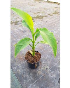 Musa basjoo / Bananier du Japon