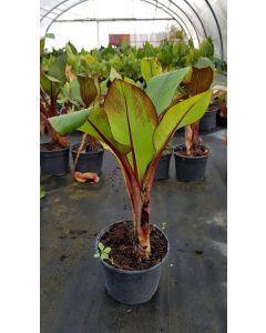 Musa maurelii / Ensete ventricosum - Bananier d'Abyssinie rouge