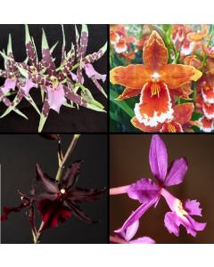 Box Orchidée Fleurit