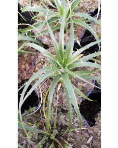 Puya alpestris / Plante mange-mouton