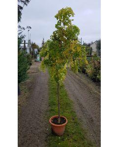 Robinia pseudoacacia Twisty Baby® 'Lace Lady' / Acacia nain tortueux = Faux acacia nain tortueux