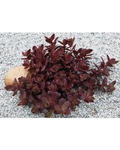 Sedum sunsparkler® 'Cherry tart' / Orpin hybride pourpre